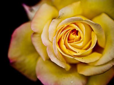 Yellow Rose - Melhores Wallpapers